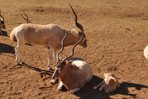 Addax, or Screwhorn Antelope are native to the Sahara desert, but critically endangered in the wild because of overhunting.  Both males and females sport long twisted horns that typically grow to about 3 feet in length.