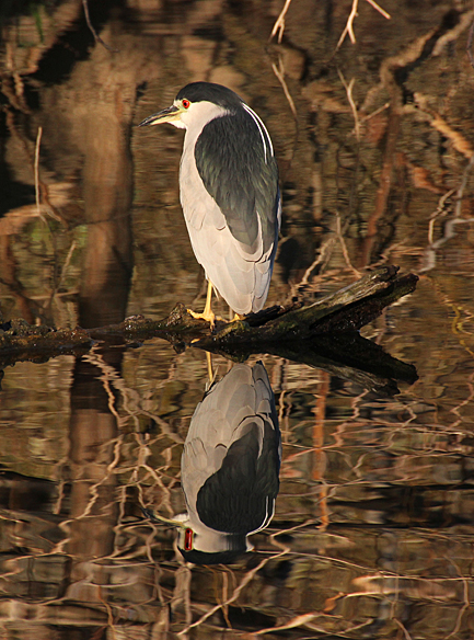 An adult Black-crowned Night Heron posed over still water.  Two decorative white plumes trail down its dark back.