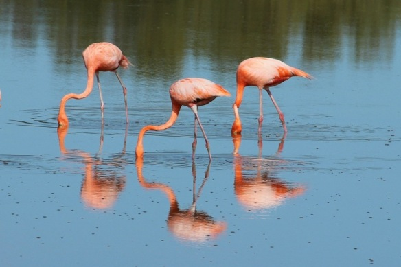 Cuban flamingos seen in April 2013.
