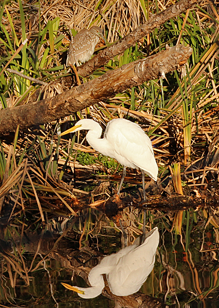 A juvenile Black-crowned Night Heron walked into the photo I was taking of the Great Egret and its reflection.