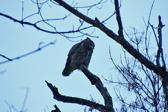 """This bird, sitting out in the open was simply black against the pale gray sky.  He or she kept up a steady stream of """"harnk"""" calls, soft muted honks every few seconds or so.  I have no idea what those calls mean.  None of the owls were hooting."""