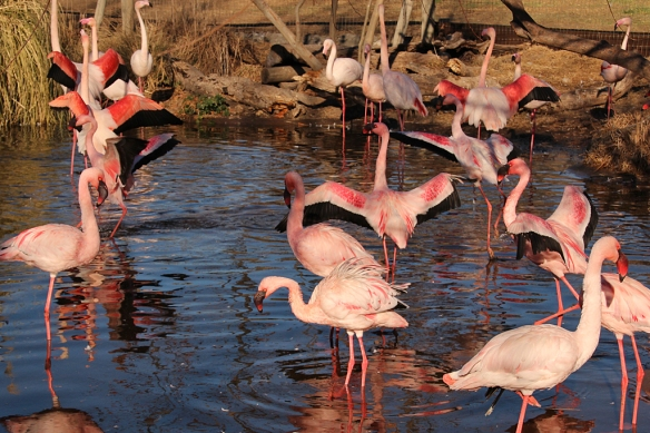 There are two species here:  Greater (large) and Lesser (small) Flamingos.  Can you tell then apart?