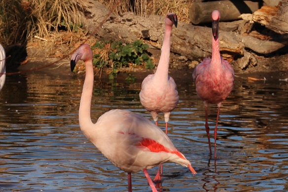 How about this view?  The bird in the front is a Greater Flamingo; the two in the back are Lesser Flamingos.  See the difference?