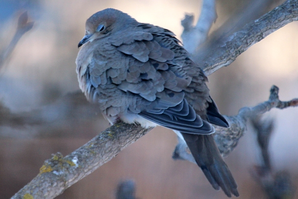 One lonely dove hung out at the bird feeder today, feasting on the seed that had fallen to the ground.  Then it was time for a brief nap in the waning daylight before seeking a roost for the night.