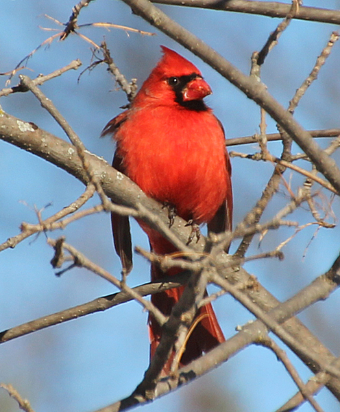 He hasn't started singing yet, but he already has his singing perch picked out.  I like the gleam in his eye, as he watches his lady Cardinal work the feeder below.