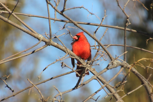 Mr. Cardinal picked the perfect place to pose in the bright sunlight.
