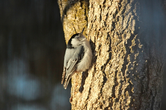 """You don't normally see White-breasted Nuthatches at rest in this posture (head up).  Notice how the bird is plastered right up next to the trunk of the tree with its feathers maximally fluffed.  Is it possible that the tree surface is actually """"warm""""?"""
