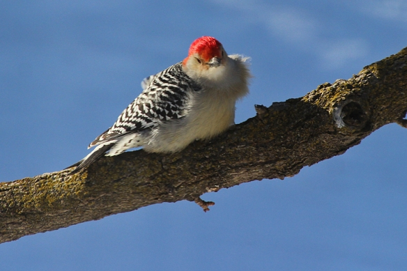 A male Red-bellied Woodpecker sporting a neck ruff... created by the stiff afternoon breeze