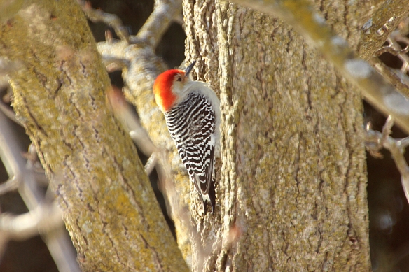 Red-bellied Woodpeckers apparently like the buckeye as a basking spot as well.