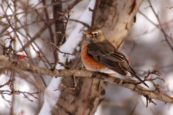 The overwintering Robin -- see my earlier post in December 2013.
