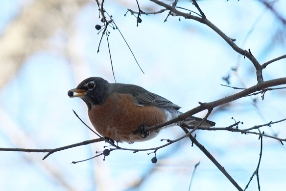 A high proportion of a Robin's winter diet is buckthorn berries.