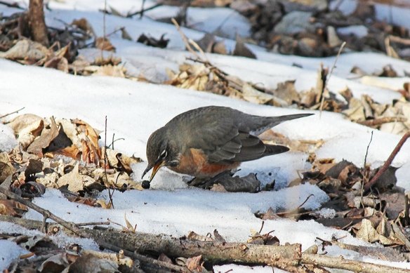 As much as 85% of the buckthorn berries may fall directly beneath the shrub, so Robins which like to forage at ground level anyway, have a high density food resource there as well.
