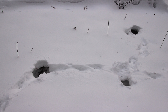 The only evidence of animal activity was this excavation, probably by a squirrel looking for some buried treasure.