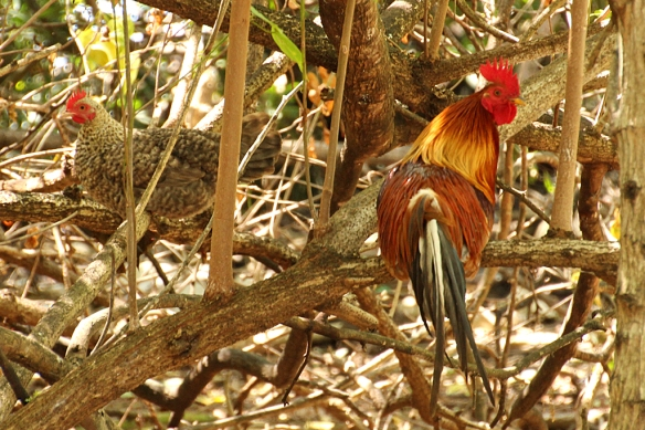 Red Junglefowl have a cowl of chesnut neck feathers, brilliant red comb and wattles, and long, drooping blue-black tail feathers.  Not your garden variety chicken!