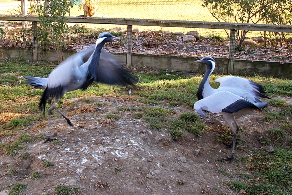 """There is  always an aerial component to the dance, as if to show how """"light"""" on its feet the crane it."""