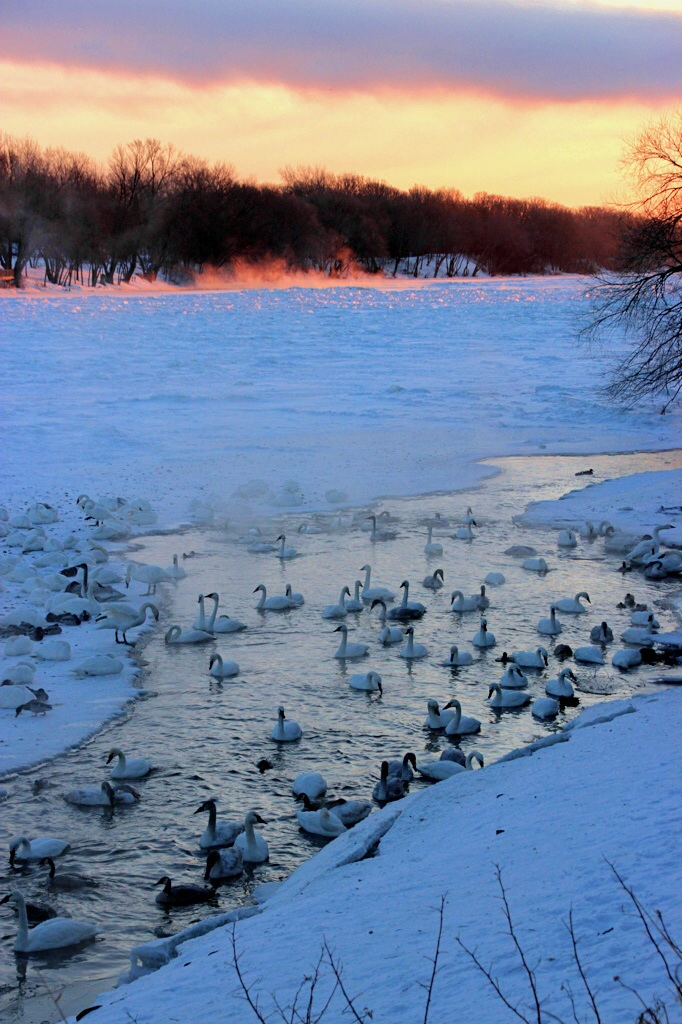The view right at sunrise.  Most of the river is frozen, but the swans keeps a narrow channel open near shore.