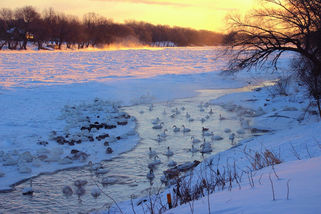 A few minutes later, the golden light turned the snow pink.  Most of the swans were still sleeping on the ice.