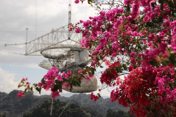 Bougsinvillea grows luxuriantly everywhere, including the Arecibo visitor center