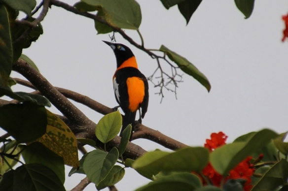 Both sexes exhibit the distinctive orange and black markings, front and back, looking like an oriole.