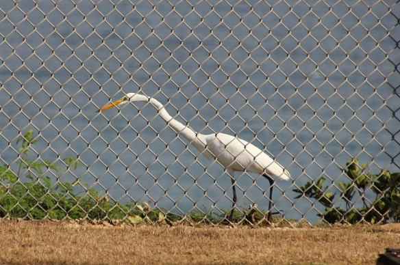This Great Egret was hunting small Anolis lizards along the rocky outcrops on the top of a cliff.