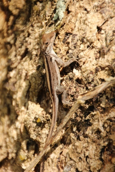 One of many Anolis lizard species, about 3inches in length.