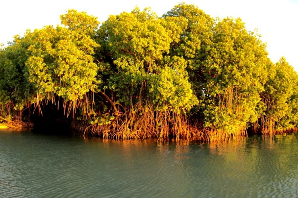 Red Mangroves are so dense you could never walk through them, but they make intriguing waterways for kayaking.