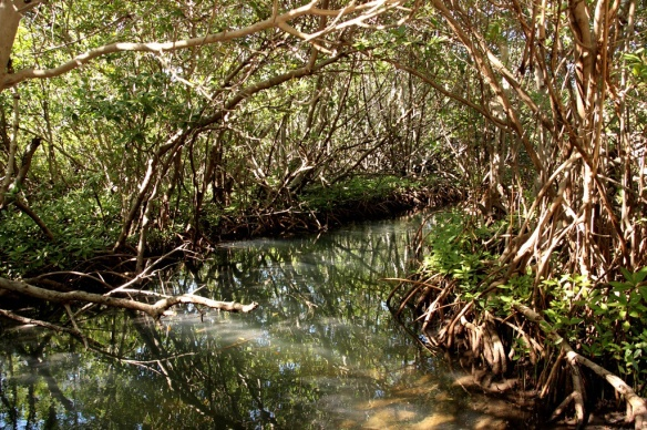 While the mangrove forest above the water supports a terrestrial community of life,  the maze of roots below the water line offer protection for small fish and invertebrates that make up the underwater community.