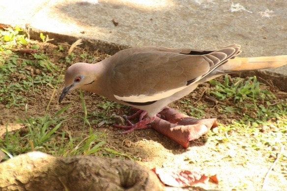 White winged doves are native to the southwestern US, but found in the Caribbean as well.