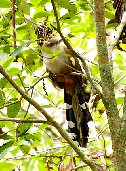 Looks very much like the Cuban Lizard Cuckoo, I photographed