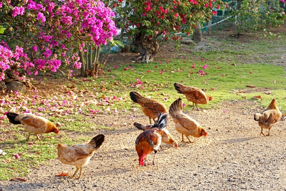 A Red Junglefowl rooster and his domestic hens search driveway gravel for seeds.