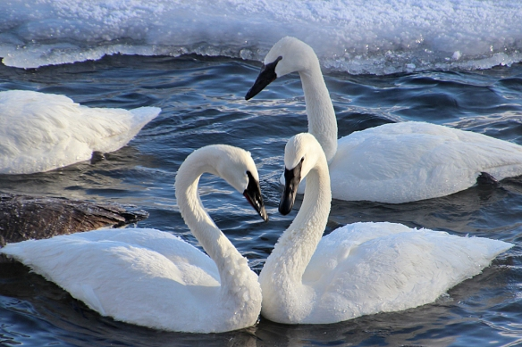 The famous heart-shaped swan neck maneuver.