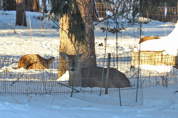 The doe kept watch while the twins napped.  One twin is hidden behind the wall on the right.