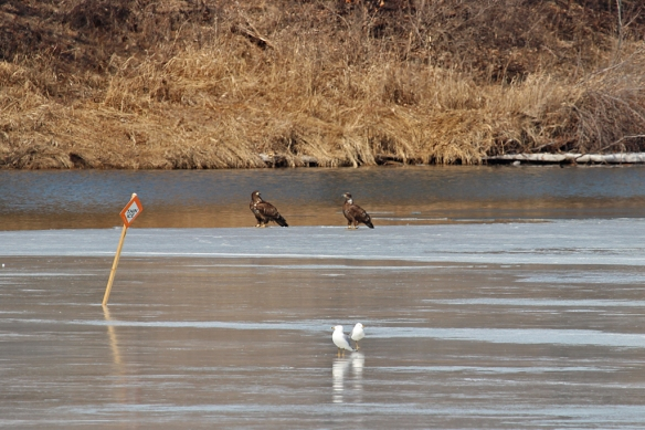 "A pair of immature Bald Eagles obviously didn't read the ""Thin Ice"" sign before stepping out on the icy edge."
