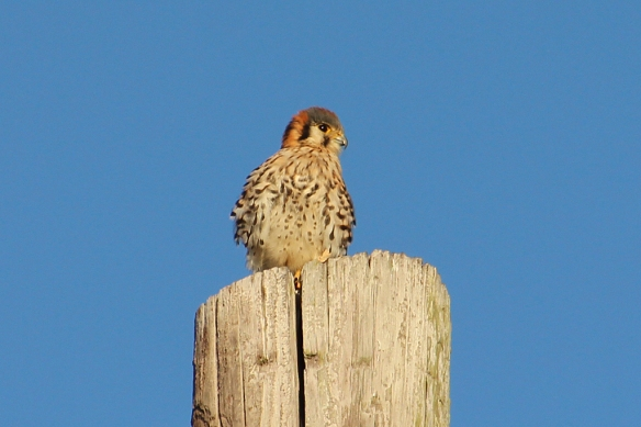 A female kestrel perched on a power pole in a residential area in western Puerto Rico, unafraid of dogs, cats, and people below her.
