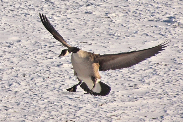 Landing gear down, wings begin to push the air forward to slow the goose down.