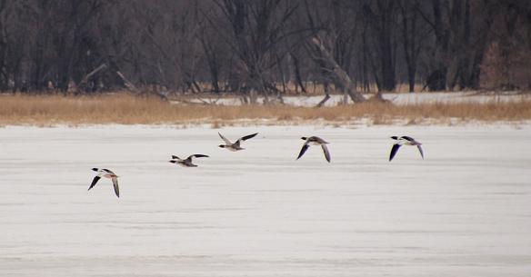 common merganser flying
