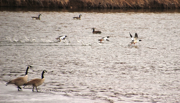 I love the way the pair of Canada Geese in the foreground watched the noisy take-off by three male Common Mergansers.