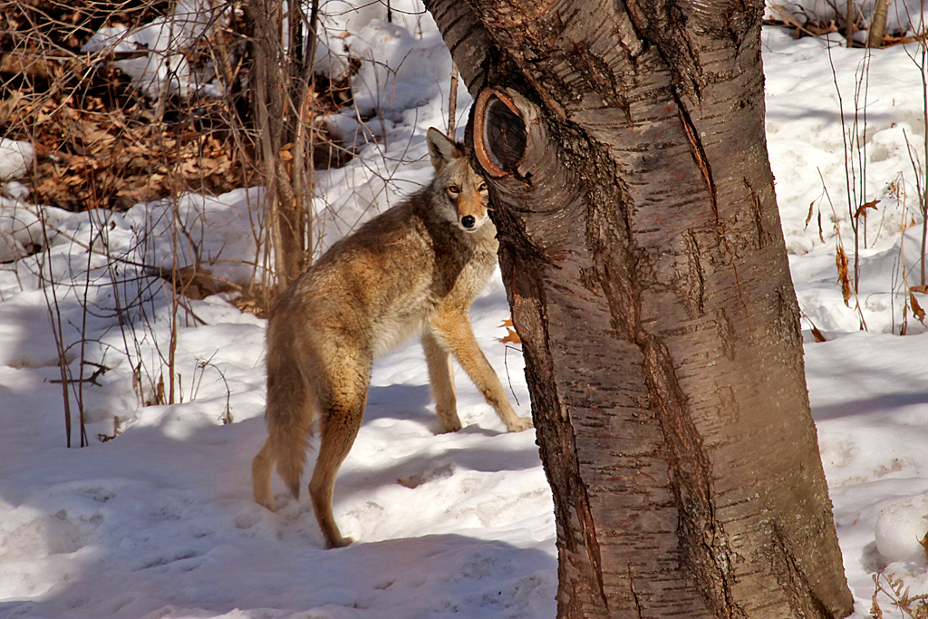 This hunt was a bust, so the coyote moves on.