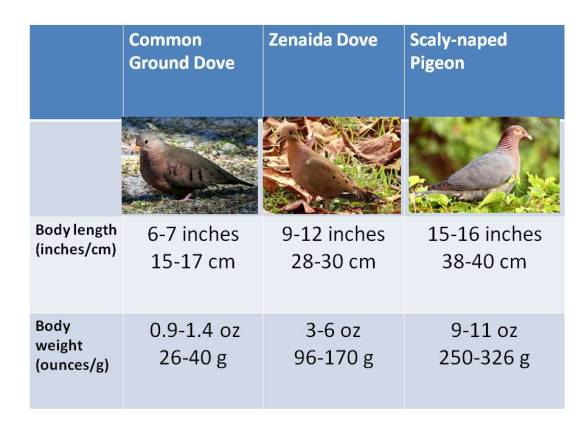 Sure enough, there is almost an exact doubling of body size between Common Ground Dove and Zenaida Dove, and also between Zenadia Dove and Scaly-naped Pigeon.