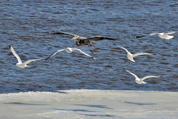 Even ordinary Ring-billed Gulls are a welcome sight, as they cruise the open water of the Mississippi south of St. Paul.