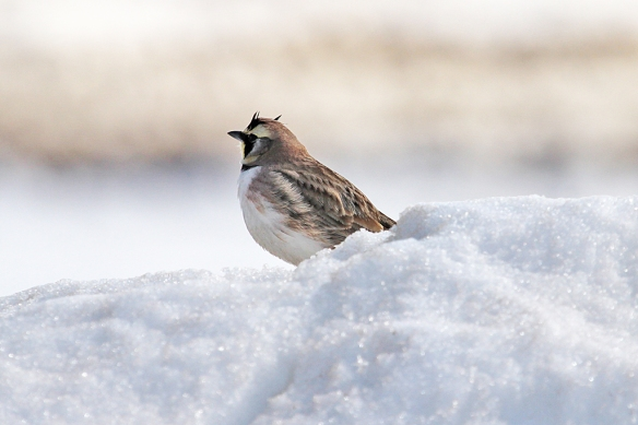 An incredibly lucky shot of a male Horned Lark.  While driving back road looking for Snowy Owls, I screech to a stop when I saw this lark on a snowbank along the road.  The light was in my face, the focus was rushed, but i managed to capture the bird anyway.