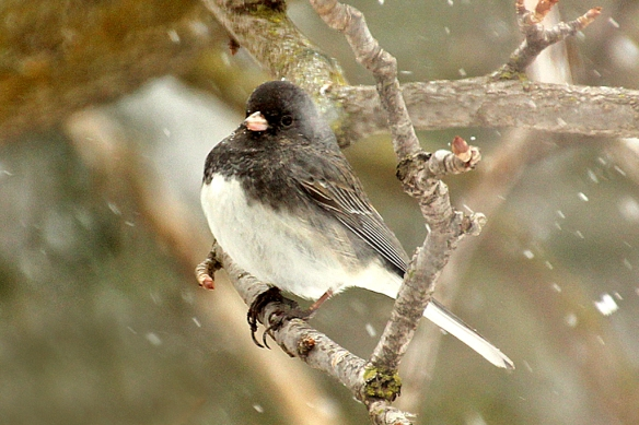 Juncos never seem depressed about snowfall.