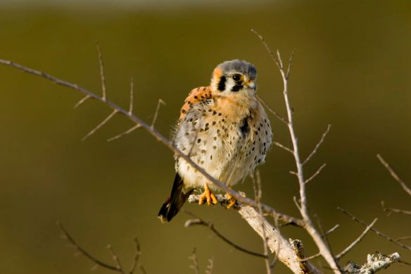 American kestrels, or Sparrow hawks, are easily identified by their small size, black facial stripes, spotted breast feathers, and swept back wing shape in flight.