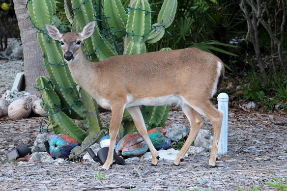 Full-grown Key Deer are about the size of a 6 month old White-tailed fawn.  Photograph taken on Big Pine key, near Marathon, FL.