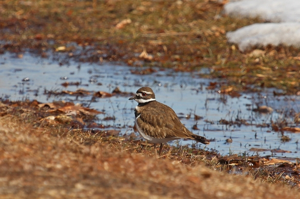 A pair of Kildeer were foraging (?) in the muddy grass.