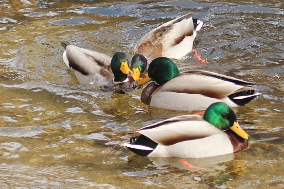 A third duck sometimes got involved in the face-off.