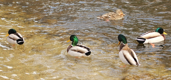 More interesting was this bob display, in which one duck after another dipped its head, arched its neck, and raised up out of the water slightly, finishing with a tail waggle.  This behavior stiimulated other males around it to the same, often accompanied by a soft burp that sounded like a frog call.