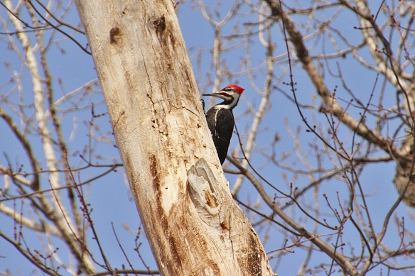 a beautiful male Pileated Woodpecker drumming at the top of a 60 foot dead tree.