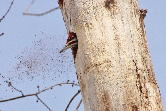 pileated woodpecker-male excavating nest cavity-3