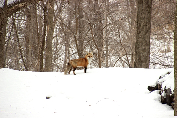 Mr or Mrs. Red Fox dropped by briefly, so perhaps they are going to use their den on the hill again to raise a litter.